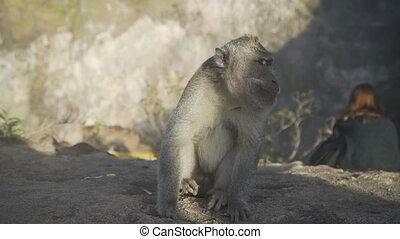 Monkey sitting near turist in mountain Batur Bali Indonesia...