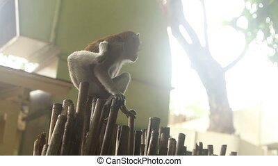 monkey sitting on a bamboo fence on the background of tree...