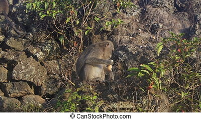 Monkey sitting on lava rock in volcano Batur Bali Indonesia