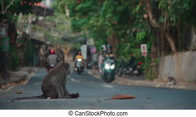 monkey sitting on traffic way in town in Indonesia