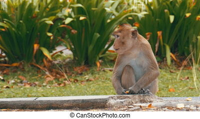 Monkey sitting on the ground eating food. Thailand. Monkey...