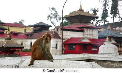 Monkey sitting on wall, pashupatinath temple, kathmandu,...