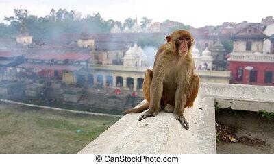 Monkey sitting on wall, pashupatinath temple, kathmandu, nepal