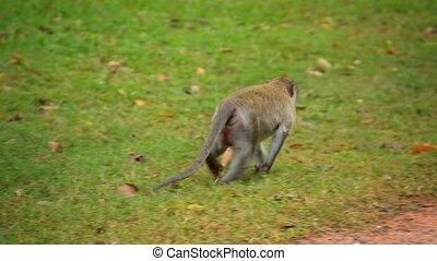 Monkey Strolling along Roadside at Angkor Wat - Video 1080p...