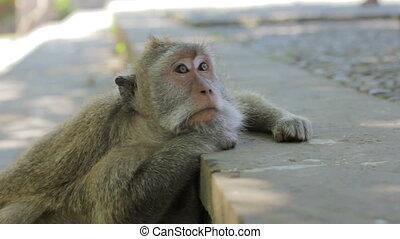 monkey thinking, uluwatu, bali