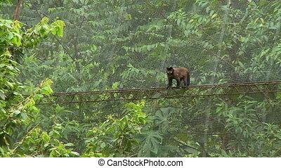 Monkey Walking On A Rope - Steady, medium wide shot of a...