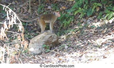 Monkey walks in the national park in Sri Lanka.