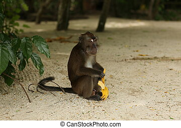 Monkey with a banana at the seaside - Exotic animals,...