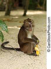 Monkey with a banana in Boracay - Exotic animals, tropical...