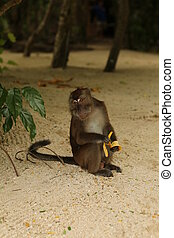 Monkey with a banana - Exotic animals, tropical...