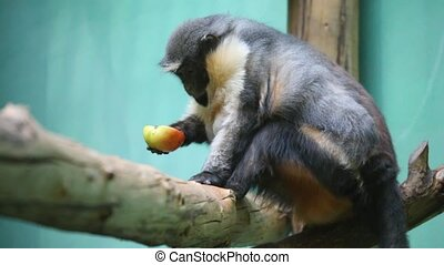 monkey with apple - Monkey sit with apple.