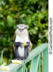 monkey with banana in Grand Etang National Park, Grenada