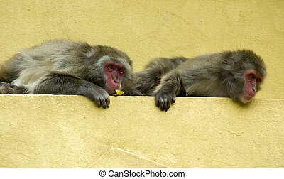 monkeys-2, twee