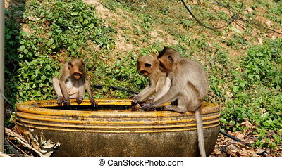 Monkeys Caught a Frog in a Bowl of Water and Play with it....