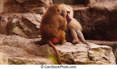 Monkeys - close-up