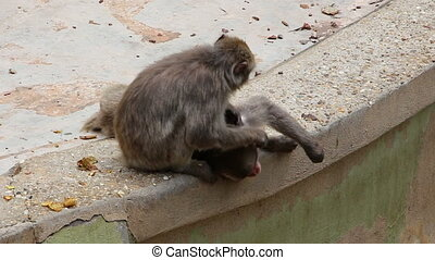 Monkeys express affection by grooming each other