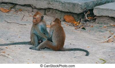 Monkeys fight or play on street - Monkeys fight or play on...