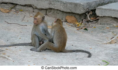 Monkeys fight or play on street - Monkeys fight or play on...