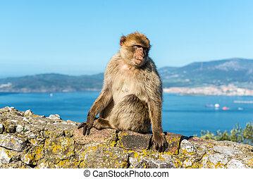 Monkeys from Gibraltar - Barbery Ape or Gibraltar monkey...