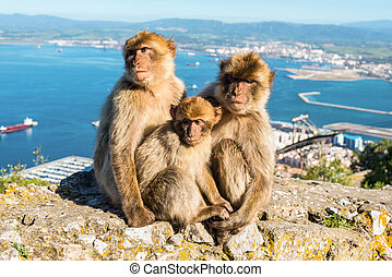 Monkeys from Gibraltar - Close up of the famous wild Barbary...