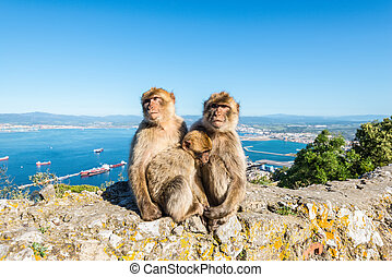 Monkeys from Gibraltar - Famous wild Barbary macaques family...