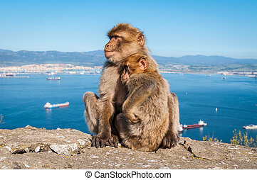 Monkeys from Gibraltar - Sitting Barbary macaques on top of...