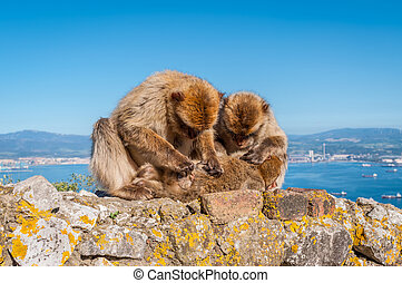 Monkeys from Gibraltar - Barbary macaques on top of the Rock...