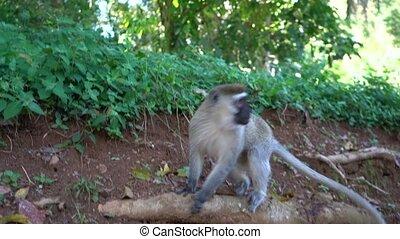 monkeys., gens, singes, alimentation, mains, directement, ...