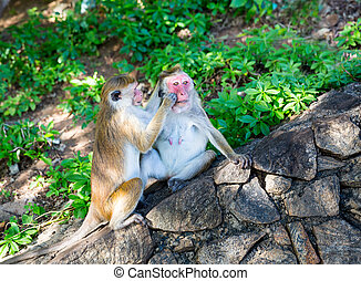 Monkeys in old buddha temple on Sri Lanka