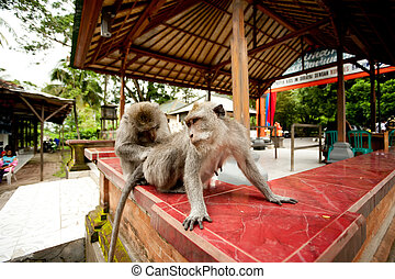 monkeys in Sacred Monkey Forest in Ubud Bali Indonesia.