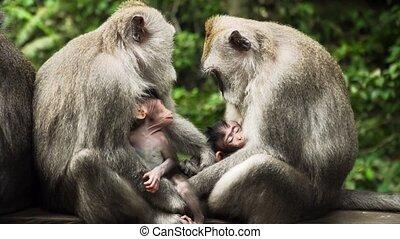 Monkeys in the forest in Bali. - monkey mother breastfeeds...