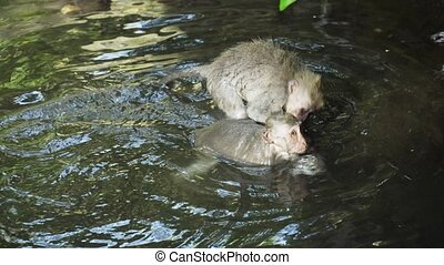 Monkeys in the forest in Bali. - Monkeys are swimming in the...