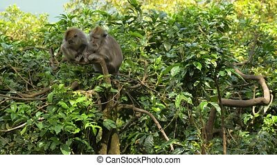 Monkeys in the forest in Bali. - Monkey macaque in the rain...