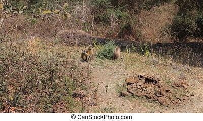 Monkeys Langur devastate fields of Indian farmers 3