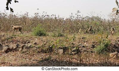Monkeys Langur devastate fields of Indian farmers 1. Methods...