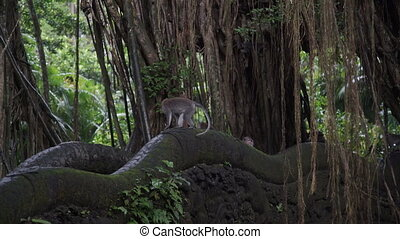 Monkeys on Bridge in jungle Ubud Monkey Forest Bali Indonesia