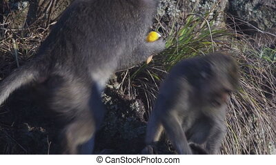 Monkeys on lava rock in mountain volcano Batur Bali Indonesia