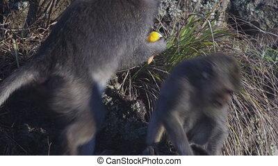 Monkeys on lava rock in mountain volcano Batur Bali...