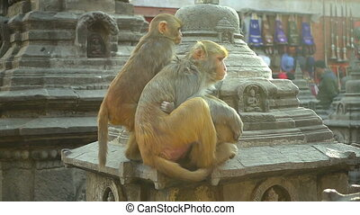 Monkeys on the background of the city