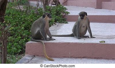 Monkeys on the steps of a hotel.