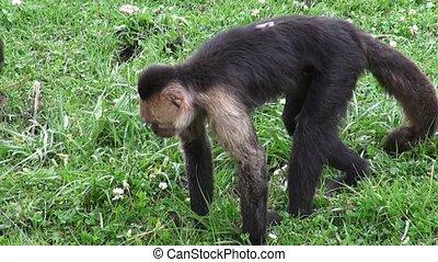 Monkeys, Primates, Zoo Animals - Capuchin Monkeys, Primates,...
