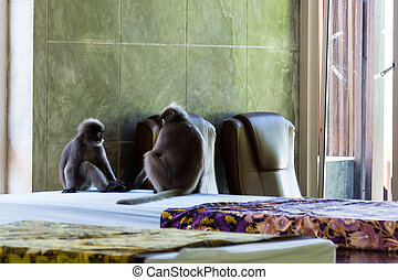 Monkeys relaxing on the mattress for spa and massage. Two gray langurs sitting on the room.