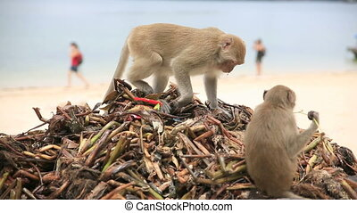 Monkeys searching for food over garbaje