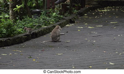 Monkeys sitting on floor and eating in Monkey Forest Bali...