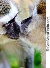 Monkeys - Kissing monkeys