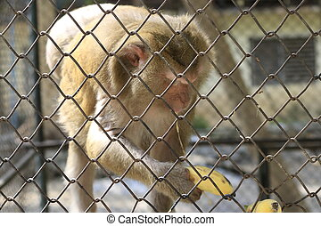 Monkeys that are locked in a cage are eating bananas.