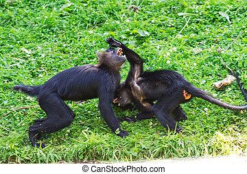 monkey's, vecht