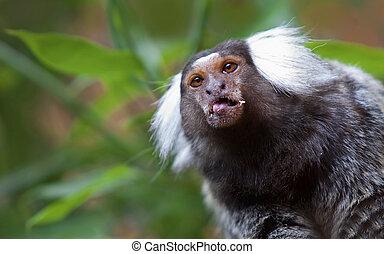 mono tití, común