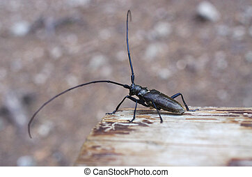 monochamus, sartor, かぶと虫