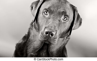 Monochromatic Head Shot of a Striking Labrador